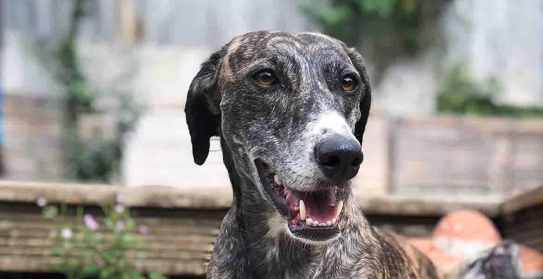 Greyhound Vet Services
